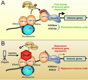 Figure 1 Shigella targets the chromatin reader HP1gamma