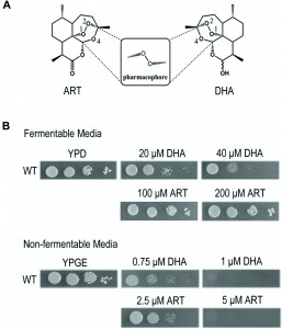 Figure 1 Two types of biological actions of artemisinins