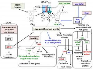 Figure 1 Complex modifications of tRNA