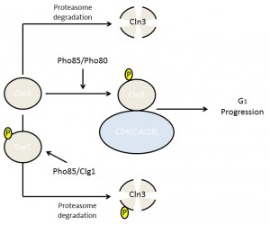 Figure 3 Cell cycle progression and lifespan