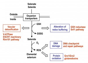 Fig 2 Selenium uptake and metabolism in yeast