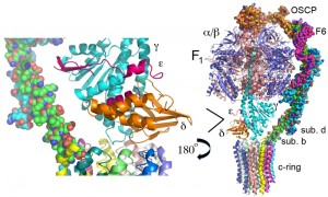 Figure 1 ATP synthase