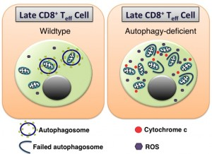 Figure 1 Autophagy and spermidine in T cells