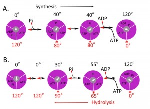 Figure 2 ATP synthase