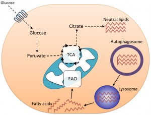 Figure 2 Autophagy and spermidine in T cells