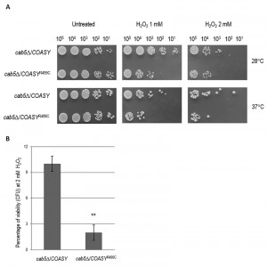 Figure 4 Coenzyme A synthase mutation in yeast
