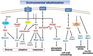 Figure 1 Alkaline response in yeast