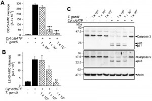 Figure 1 Inhibition of apoptosome formation by Toxoplasma