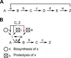 Figure 1_Regulation of ornithine decarboxylase degradation