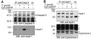 Figure 4 Inhibition of apoptosome formation by Toxoplasma
