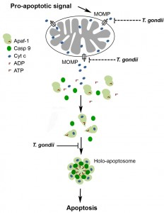 Figure 6 Inhibition of apoptosome formation by Toxoplasma