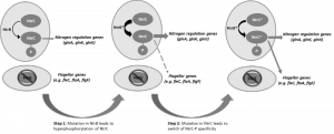 Figure 1 Gene network evolution via regulatory rewiring