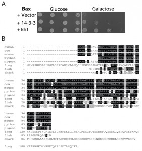 Figure 1 Human TC-1 protects from copper and pro-apoptotic genes in yeast