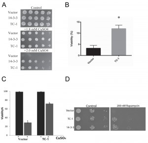 Figure 2 Human TC-1 protects from copper and pro-apoptotic genes in yeast