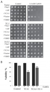 Figure 3 Human TC-1 protects from copper and pro-apoptotic genes in yeast