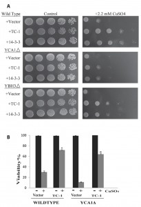 Figure 4 Human TC-1 protects from copper and pro-apoptotic genes in yeast