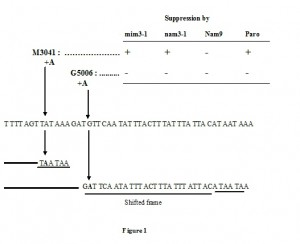 Figure 1 Yeast mitochondrial suppressor in 15S rRNA