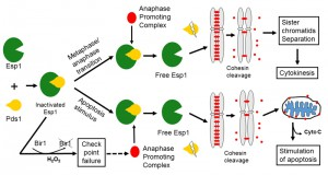 Figure 2 Why are essential genes essential