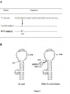 Figure 3 Yeast mitochondrial suppressor in 15S rRNA