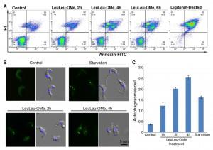 Figure 5 LeuLeu-OMe-mediated lysosme destabilization and cell death in T. brucei