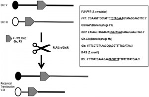 Figure 1 Chromosomal translocation may drive evolution