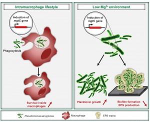 Figure 1 Intramacrophage role of Pseudomonas MgtC