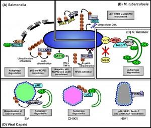 Figure 1 Pathogen recognition by cellular autophagy systems