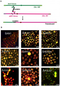 Figure 2 Chromosomal translocation may drive evolution