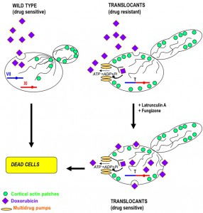 Figure 4 Chromosomal translocation may drive evolution