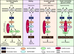 Figure 1 The MAPKKKs Ste11 and Bck1 jointly transmit the oxidative stress signal to cyclin C