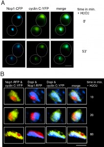 Figure 4 The MAPKKKs Ste11 and Bck1 jointly transmit the oxidative stress signal to cyclin C