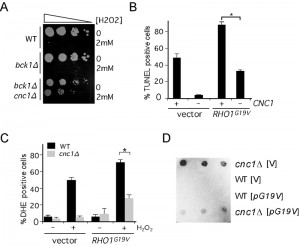 Figure 7 The MAPKKKs Ste11 and Bck1 jointly transmit the oxidative stress signal to cyclin C