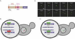 Figure 1 Interchromosomal clustering during transcriptional memory.