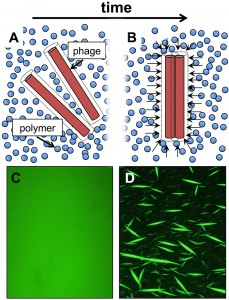 Figure 1 Phage organize biofilms into liquid crystals