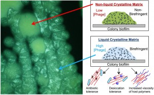 Figure 2 Phage organize biofilms into liquid crystals