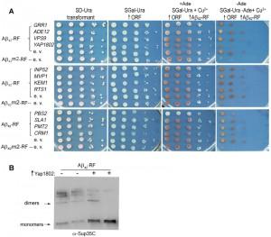 Figure 1 Inhibition of Aβ42 oligomerization in yeast