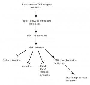 Figure 1 Mek1 regulates meiotic recombination in yeast