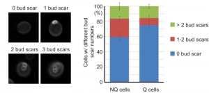 Figure 6 Granule formation in stationary phase cells