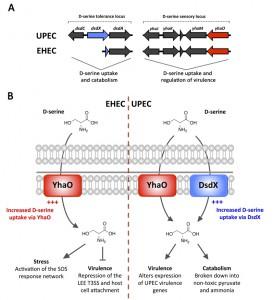 Figure 1 D-serine sampling in Escherichia coli