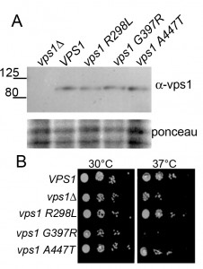 Figure 2 Modelling dynamin disease mutations in yeast Vps1