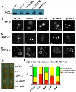 Figure 3 Modelling dynamin disease mutations in yeast Vps1
