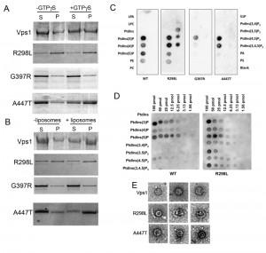 Figure 5 Modelling dynamin disease mutations in yeast Vps1
