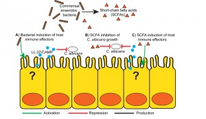 Figure1 Bacterial-fungal interactions in the gut