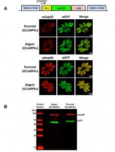 Figure 1 PtdThr-regulated calcium homeostasis in Toxoplasma gondii