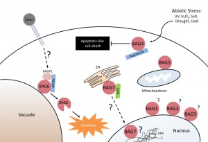 Figure 2 BAG6 processing triggers autophagy and plant immunity