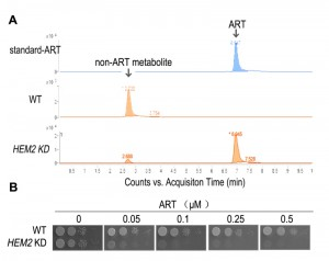 Figure 2 The cellular actions of artemisinins in yeast modeling