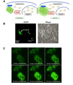 Figure 3 PtdThr-regulated calcium homeostasis in Toxoplasma gondii