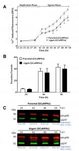 Figure 4 PtdThr-regulated calcium homeostasis in Toxoplasma gondii