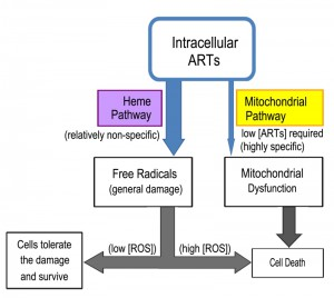 Figure 4 The cellular actions of artemisinins in yeast modeling