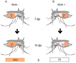 Figure 1 Wolbachia Zika virus inhibition